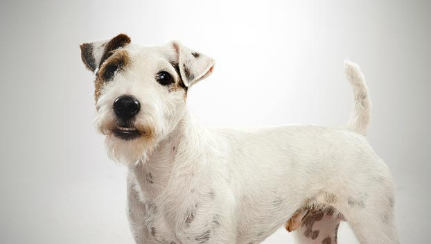 What to look for in a quality Parson Russell terrier | Pets4Homes