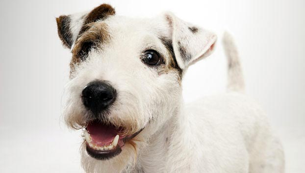 Get to Know the Parson Russell Terrier: A Dog of Many Names