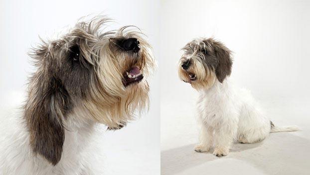 Petit Basset Griffon Vendeen : Dog Breed Selector : Animal Planet Otterhound Exercise