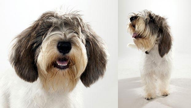 Petit Basset Griffon Vendeen : Dog Breed Selector : Animal ... Petit Basset Griffon Vendeen Nz