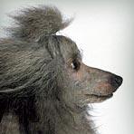 Poodle (Miniature)
