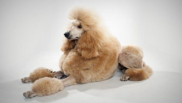 Poodle (Standard)