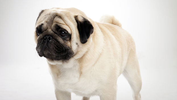 Small Toy Pugs : Pug dog breed selector animal planet