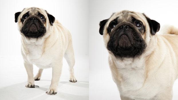 'Pug' from the web at 'http://static.ddmcdn.com/en-us/apl/breedselector/images/breed-selector/dogs/breeds/pug_04_lg.jpg'