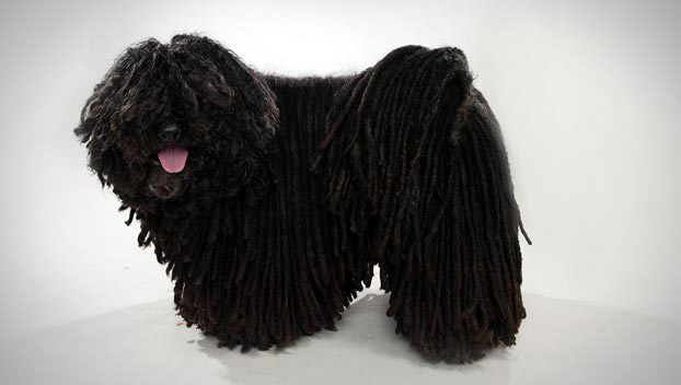 Puli : Dog Breed Selector : Animal Planet