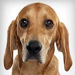 coonhound dog breed selector animal planet the redbone coonhound dog ... American Foxhound Strains