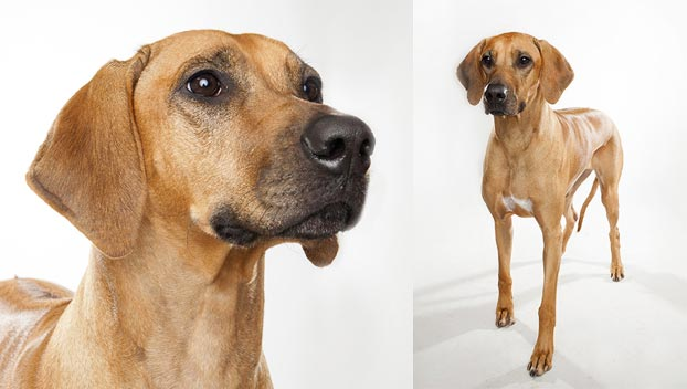 Rhodesian Ridgeback Dog Breed Selector Animal Planet