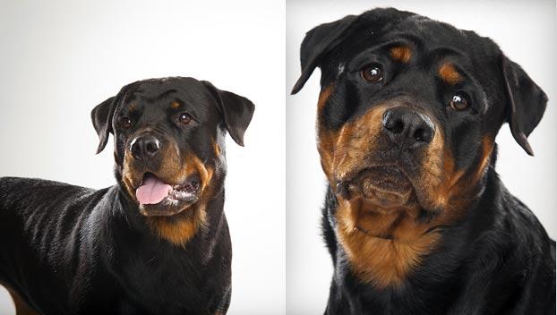 Rottweiler : Dog Breed Selector : Animal Planet