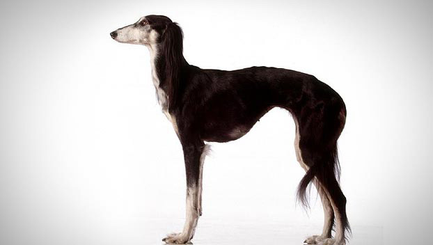Saluki (or Gazelle Hound)