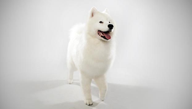 Samoyed Mixed Breeds Samoyed; samoyed