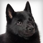 Schipperke