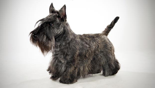 Scottish Terrier : Dog Breed Selector : Animal Planet