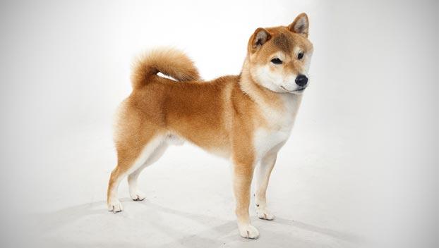 Shiba Inu Dog Breed Selector Animal Planet