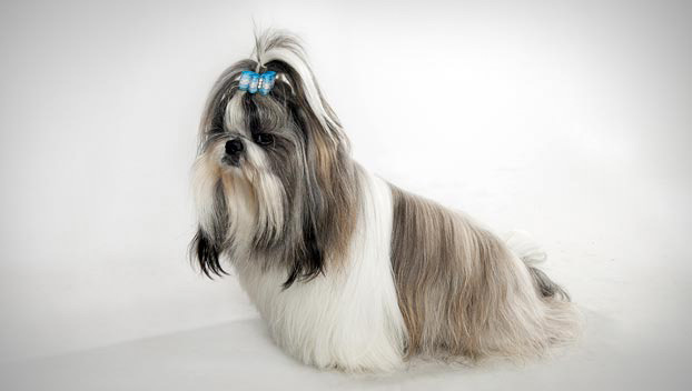 Shih Tzu Dog Breed Selector Animal Planet