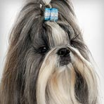 Shih Tzu : Dog Breed Selector
