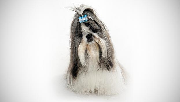 Shih Tzu Dog Breed Selector Animal Planet