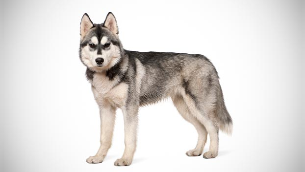 racing sled dog or show dog it remains one of the most popular of ...