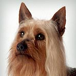 Silky Terrier