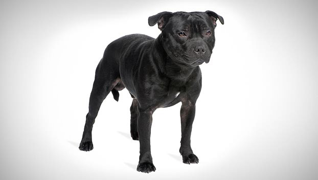 staffordshire bull terrier guide terrier dog breeds