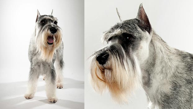 Is the standard schnauzer right for me