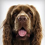 Sussex Spaniel
