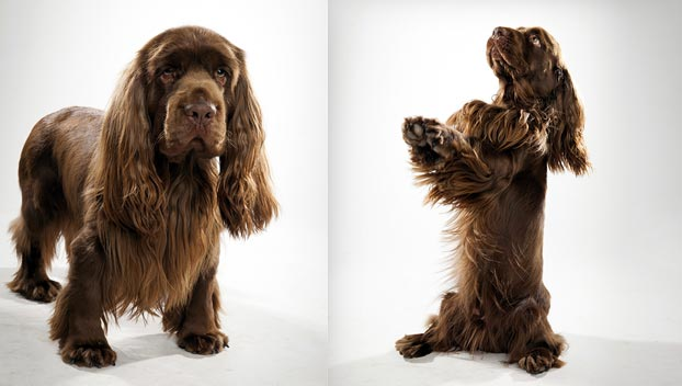 Sussex Spaniel furthermore Bayer furthermore Red Fox furthermore Prevention 20of 20AI 20transmission 20to 20humans as well Labadi Beach. on animal health care