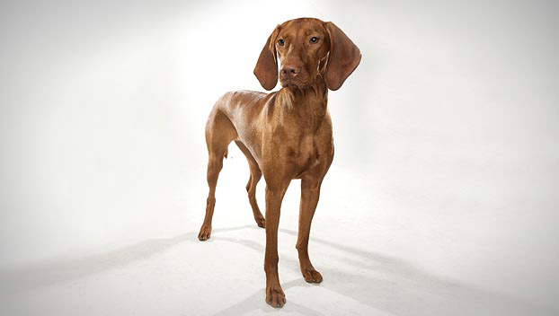 vizsla dog breed selector animal planet