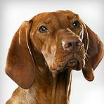 Vizsla