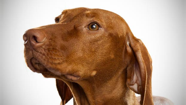 Image result for vizsla