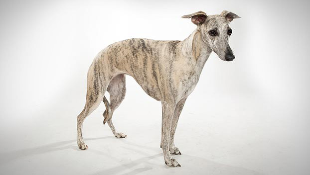 Whippet, Picture Of Array : Whippet   Dog Breed Selector   Animal Planet: Whippet   Dog Breed Selector   Animal Planet
