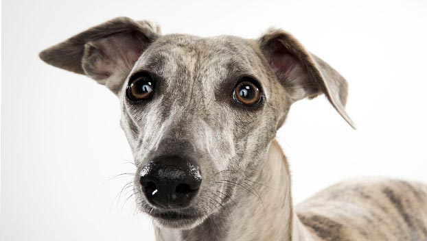 Whippet : Dog Breed Selector : Animal Planet