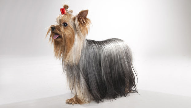 Small breed yorkshire terrier