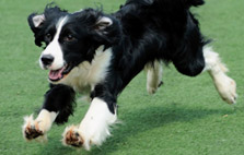 Energetic Dog Breeds