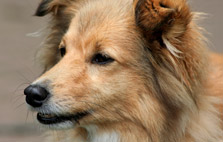 Herding Dog Breeds