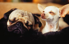 Laid-Back Dog Breeds
