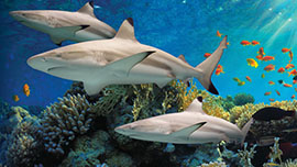 APL!VE Reef Sharks