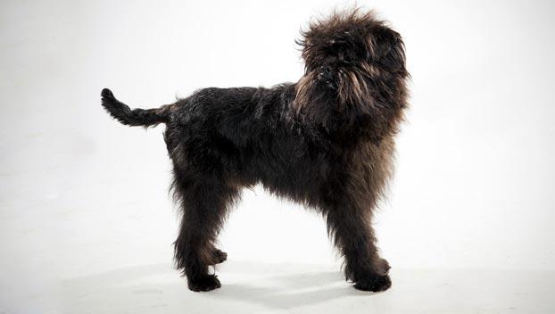 affenpinscher dog breed selector animal planet