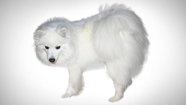 American Eskimo Toy Dog Breed
