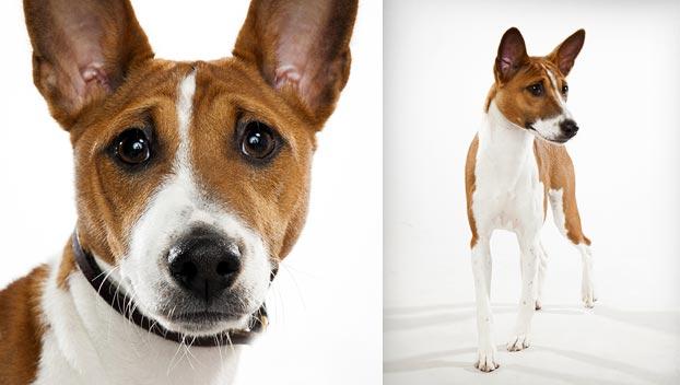 basenji dog breed selector animal planet