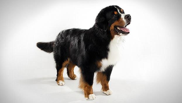 Bernese Mountain Dog Breed Selector Animal Planet