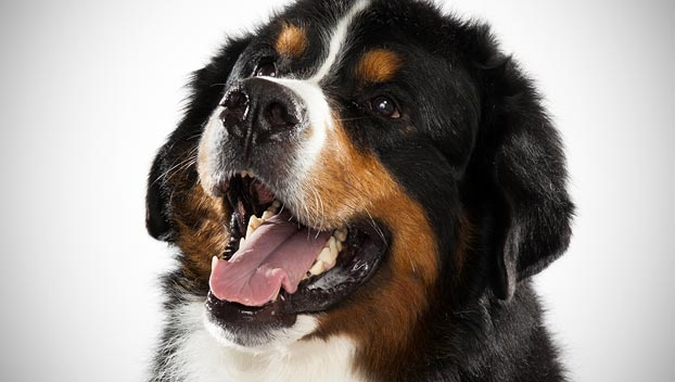 Bernese Mountain : Dog Breed Selector : Animal Planet