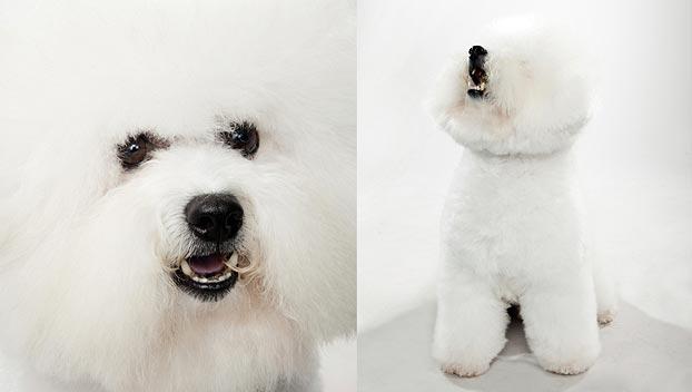 Bichon Frise : Dog Breed Selector : Animal Planet