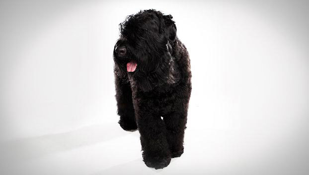 Black Russian Terrier : Dog Breed Selector : Animal Planet