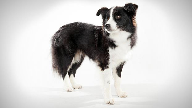 Border Collie : Dog Breed Selector : Animal Planet
