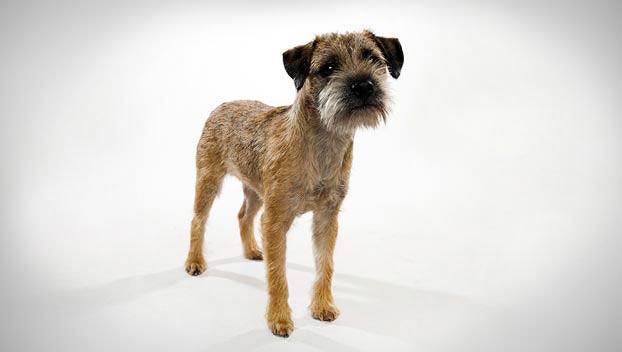 border terrier dog breed selector animal planet