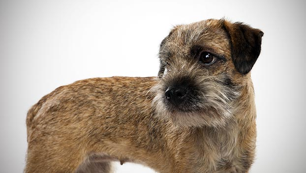 Border Terrier : Dog Breed Selector : Animal Planet
