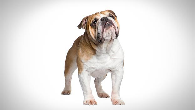 english bulldog breeds bulldog dog breed selector animal planet 9330