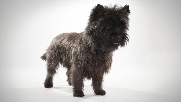 Cairn Terrier : Dog Breed Selector : Animal Planet