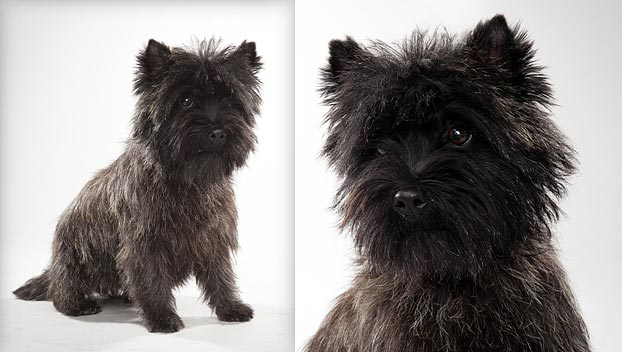 Cairn Terrier Dog Breed Selector Animal Planet