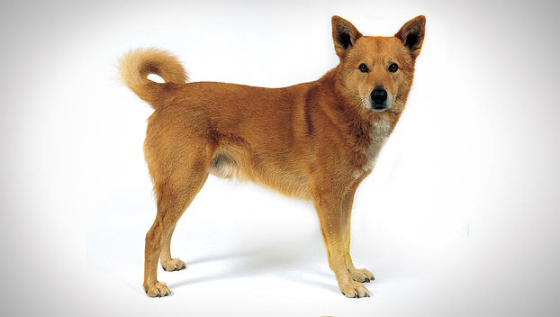 Canaan : Dog Breed Selector : Animal Planet